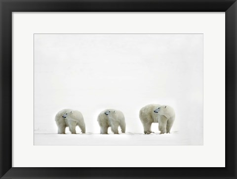 Framed Three Polar Bears in a Line Print