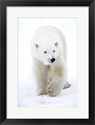Framed Polar Bear with Snow on Nose Print