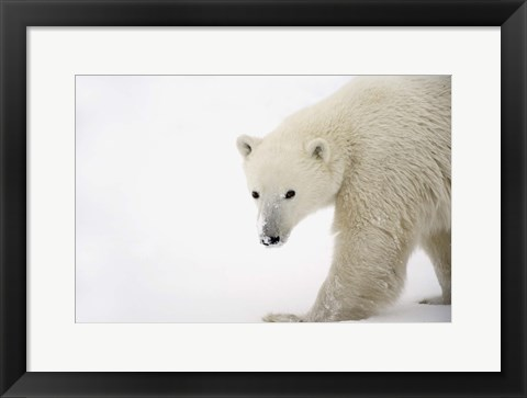 Framed Polar Bear Creeping in Snow Print
