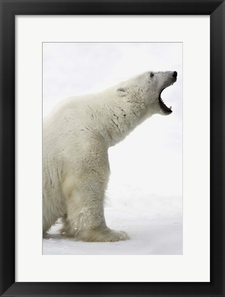 Framed Polar Bear Roaring Print