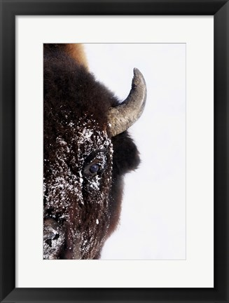 Framed Half of a Bison's Face Print