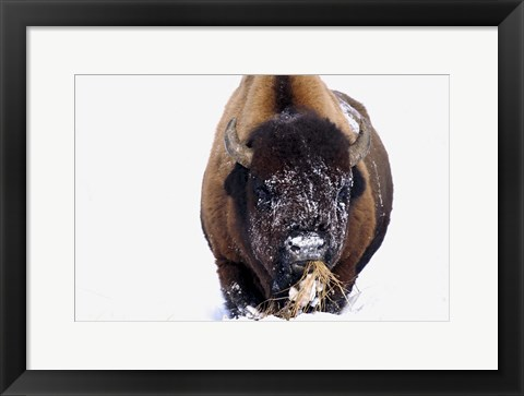 Framed Snowy Bison Eating Weeds Print