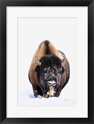 Framed Bison Eating in Snow Print