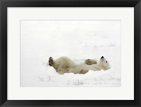 Framed Polar Bear Laying on Back in Snow Print