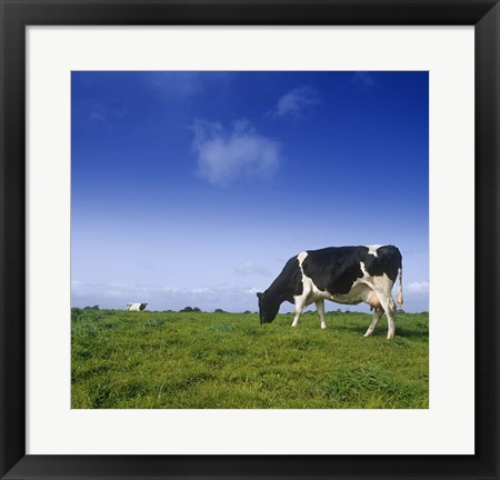 Framed Cow Grazing against Clear Blue Sky Print