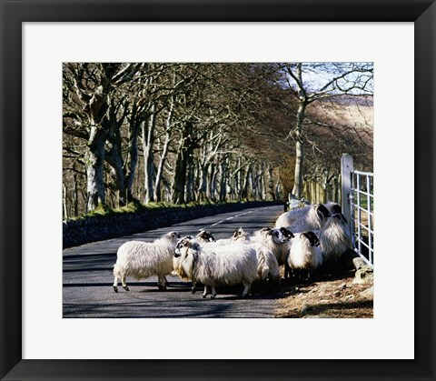Framed Rams in the Countryside Print