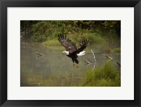 Framed Bald Eagle Soaring over Lake Print