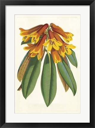 Framed Tropical Rhododendron II Print