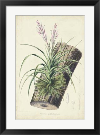 Framed Orchid Delight II Print