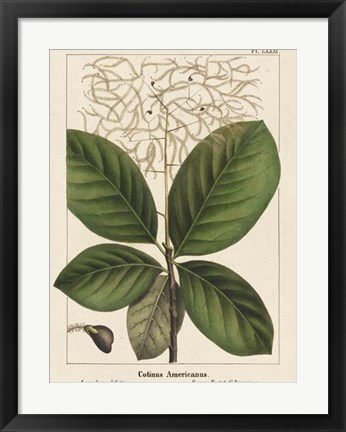 Framed Large Leaved Cotinus Print