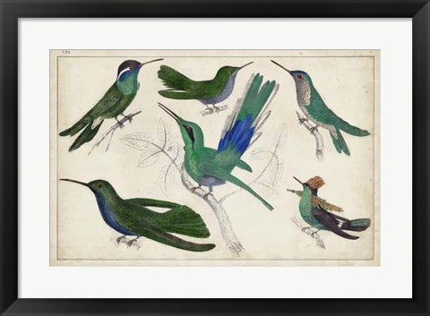 Framed Hummingbird Gathering II Print