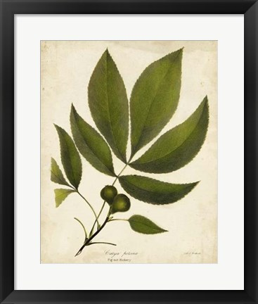 Framed Pig-nut Hickory Tree Folige Print