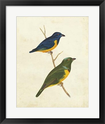 Framed Peruvian Tanager I Print