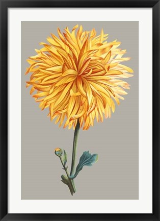 Framed Chrysanthemum on Gray IV Print
