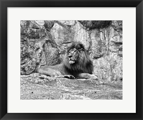 Framed Lion II Print