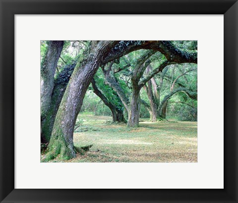 Framed Louisiana Oaks, Louisiana 97 Print