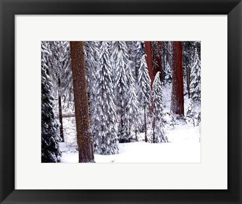 Framed Pines in Winter, California 95 Print