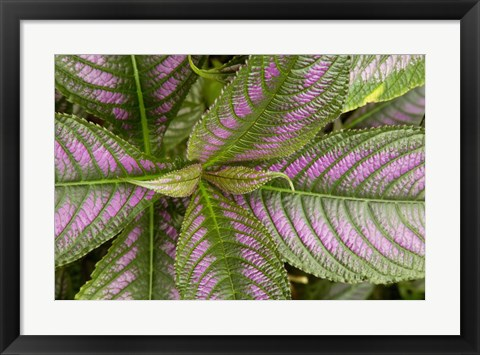 Framed Persian Shield Leaves, Ann Arbor, Michigan 13 Print