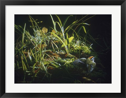 Framed Golden Crowned Kinglet Print