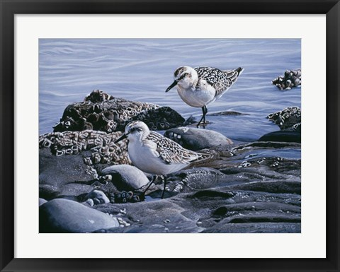 Framed Sanderlings Print