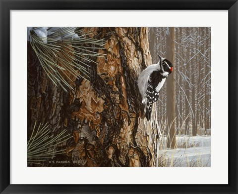 Framed Winter Pine- Downy Woodpecker Print