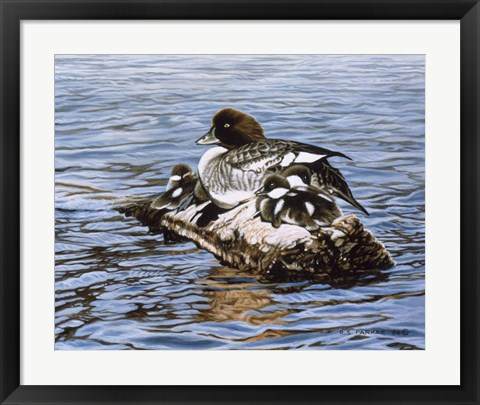 Framed Goldeneye & Ducklings Print