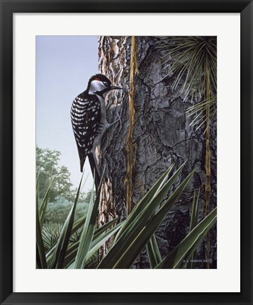 Framed Red Cockaded Woodpecker Print
