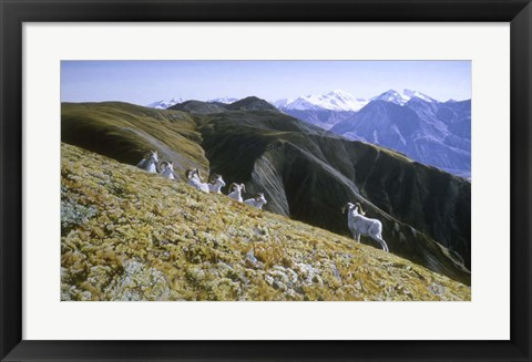 Framed Dall Sheep Print