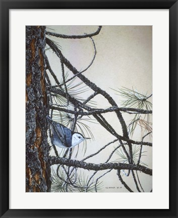 Framed White Breasted Nuthatch Print