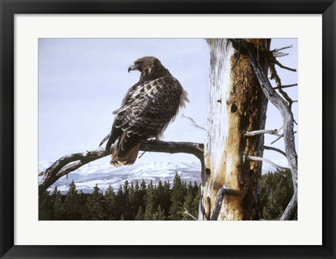 Framed Red Tailed Hawk Print