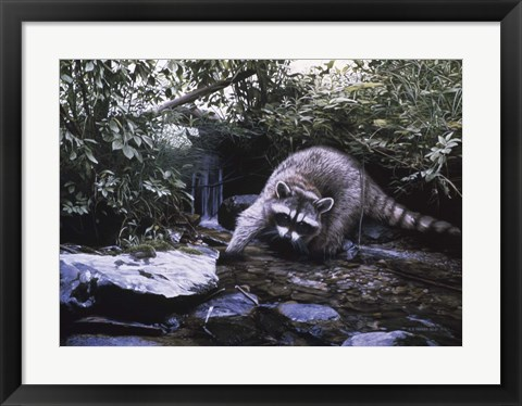 Framed Searching The Stream- Racoon Print