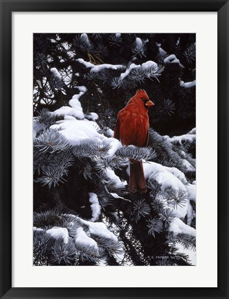 Framed Cardinal In Blue Spruce Print
