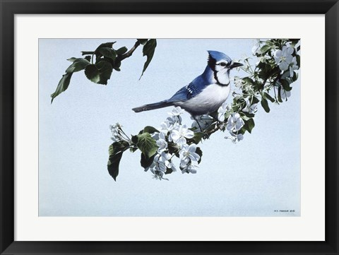 Framed Apple Blossoms And Bluejay Print