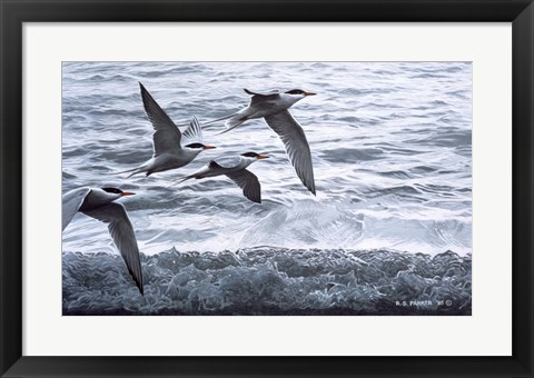 Framed Above The Waves - Common Terns Print