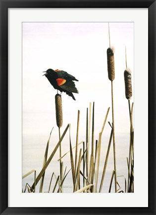 Framed Early Arrival- Red- Winged Blackbird Print