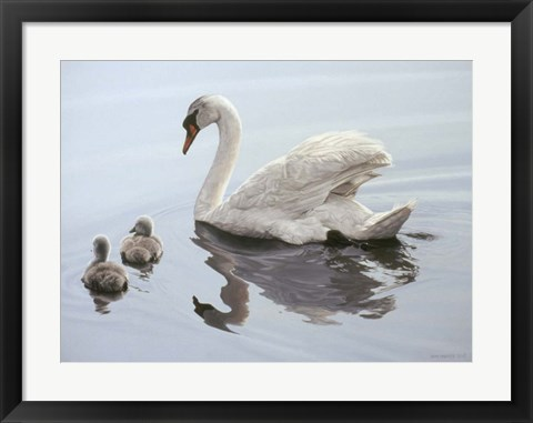 Framed Mute Swan And Two Cygnets Print
