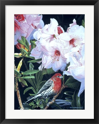 Framed Housefinch And Rhododendron Print