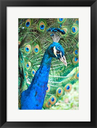 Framed Royally Blue II Print
