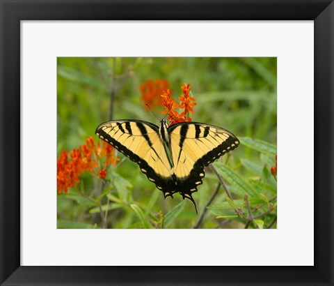 Framed Black Yellow Butterfly I Print