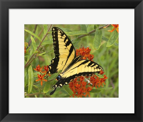 Framed Black Yellow Butterfly II Print