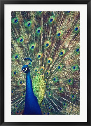 Framed Royally Blue I Print