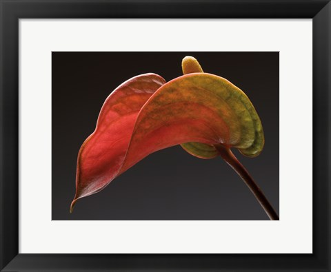 Framed Anthurium 3 Print