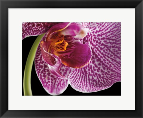 Framed Purple Orchid 2 Print