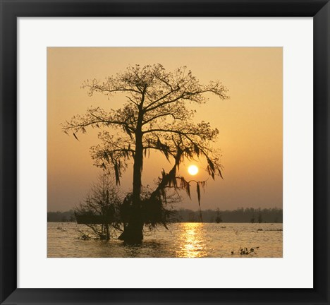 Framed Cypress Print