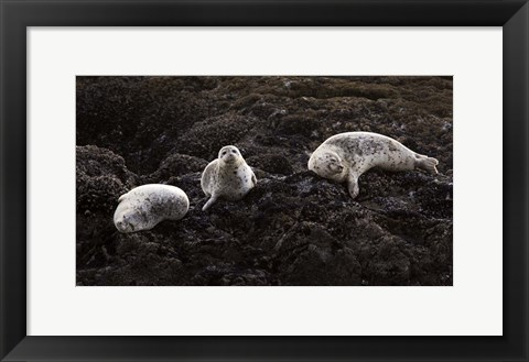 Framed Lounging Seals Print