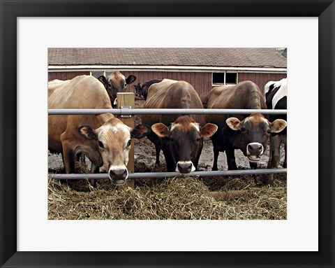 Framed Cows Print