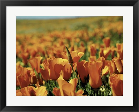 Framed Californian Poppies Print