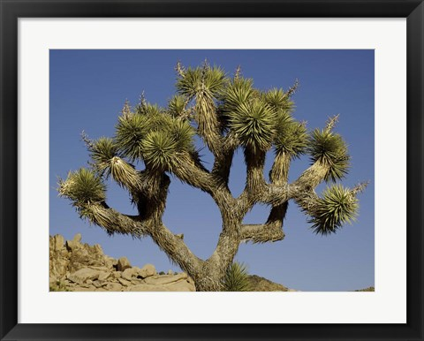 Framed Joshua Tree Print