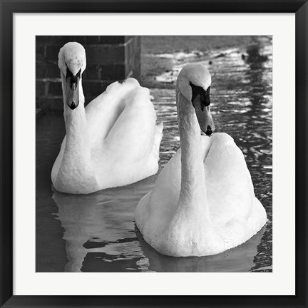 Framed Swans In Love BW Print