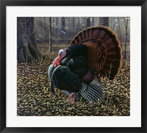 Framed King Of Spring - Wild Turkey Print